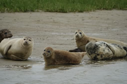 Thames Seal Population Estimated at Over Four Thousand